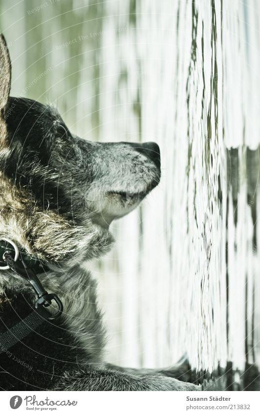Spieglein, Spieglein... Haustier Hund Tiergesicht hängen Wasseroberfläche See Seeufer Hundeleine Pfote Gedanke Blick Denken Fell mehrfarbig Außenaufnahme