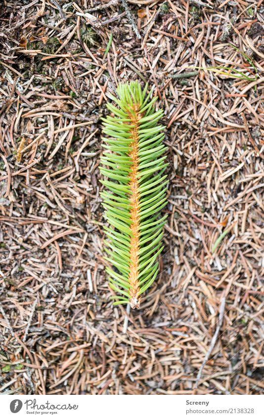 Oh Tannenbaum - Single Edition Natur Pflanze Weihnachten & Advent grün Wald braun Erde liegen Tannennadel Tannenzweig