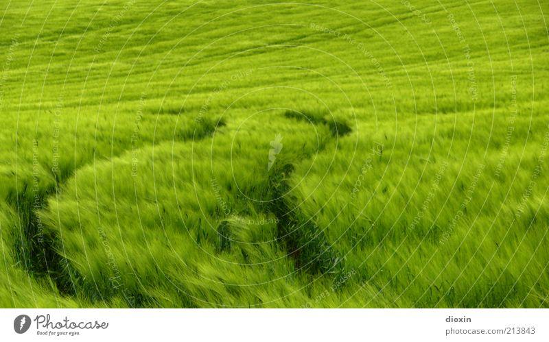 Secale cereale [2] Lebensmittel Getreide Umwelt Natur Landschaft Pflanze Wind Gras Nutzpflanze Roggen Roggenfeld Feld Wachstum grün Reifenspuren Farbfoto