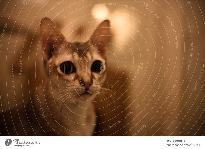 Pussycat alt schön Tier Katze gold elegant ästhetisch Ohr weich nah Neugier beobachten hören Haustier Erwartung Vorsicht