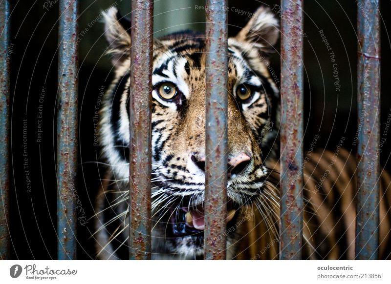 Tihscha Mund Tier Zoo Tiger 1 alt beobachten glänzend Blick bedrohlich dreckig authentisch schön nah Originalität rebellisch trist gelb gold Kraft Sehnsucht