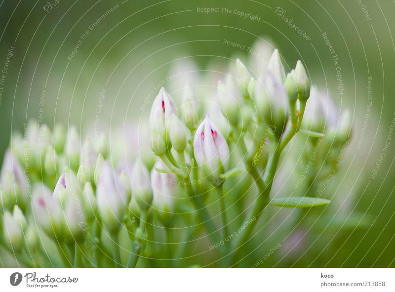 rosagrün Natur schön weiß Blume Pflanze Sommer Blüte Frühling Wachstum zart natürlich Blühend Duft Blütenknospen