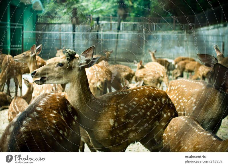 Bambi und die Rehkitz Gang Tier Fell Zoo Hirsche Tiergruppe Herde alt schön gefangen geschlossen gefleckt Käfig Farbfoto Außenaufnahme Experiment Menschenleer