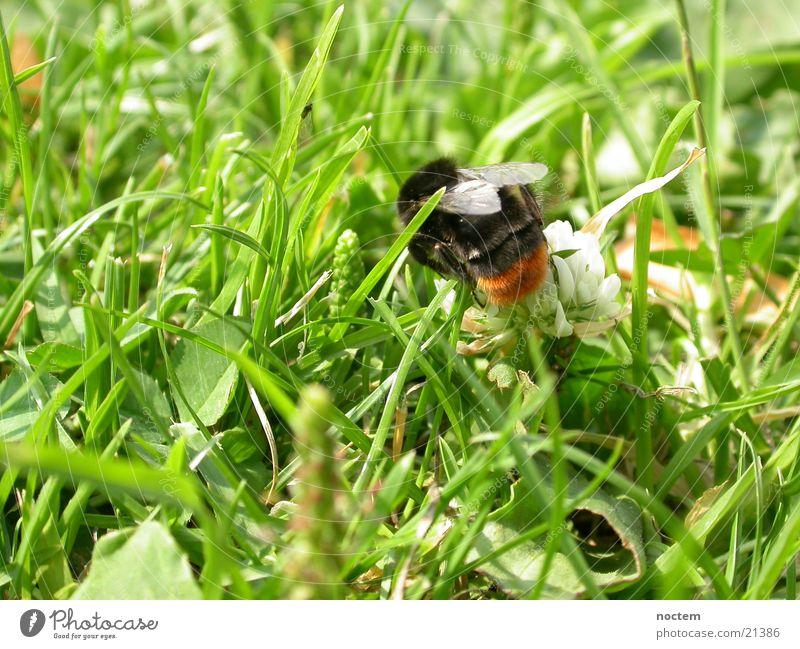 Hummelwiese 1 Wiese Insekt Biene Hummel Wespen