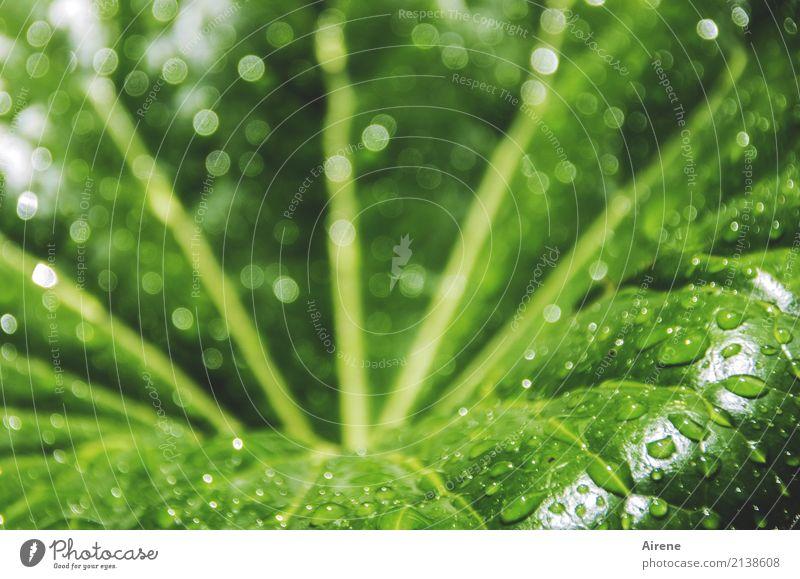 Trichter Pflanze Wassertropfen Schönes Wetter Blatt Grünpflanze Netzwerk Tropfen Schwimmen & Baden Reinigen frisch groß nass natürlich rund Sauberkeit gelb grün
