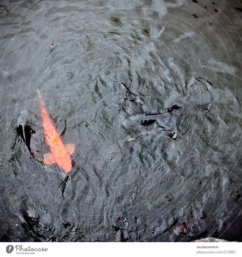 Sushirohstoff Orange Wellen Fisch einzigartig wild außergewöhnlich leuchten Japan Teich edel Tier Asien Wasser Vogelperspektive Bildausschnitt Tokyo