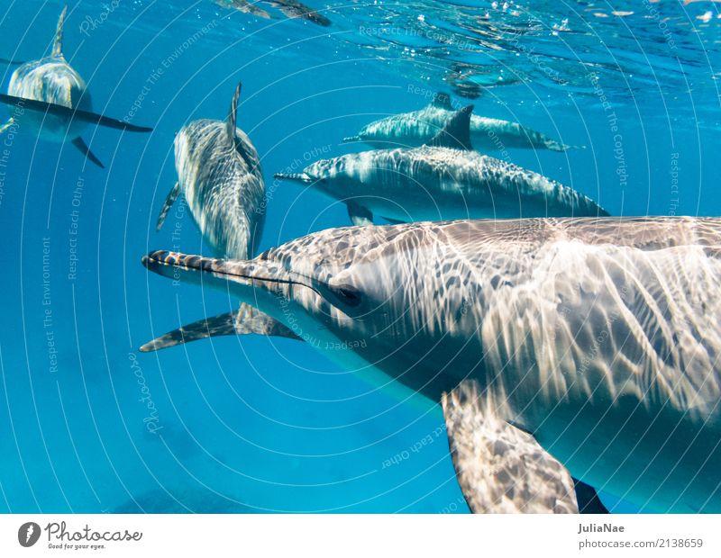 Schule Spinnerdelfine Delphine Wasser Tier Meer schwimmen ostpazifischer delfin Rotes Meer Ägypten tauchen Schnorcheln Wildtier wild freilebend