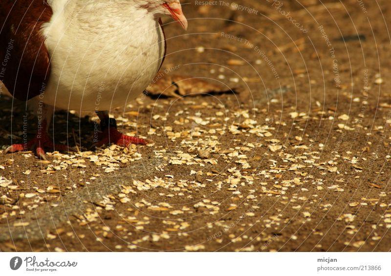 Found grain |You may Applaude Getreide Ernährung Tier Wildtier Vogel Krallen 1 Fressen füttern stehen dick Wärme gelb gold Glück Optimismus Appetit & Hunger