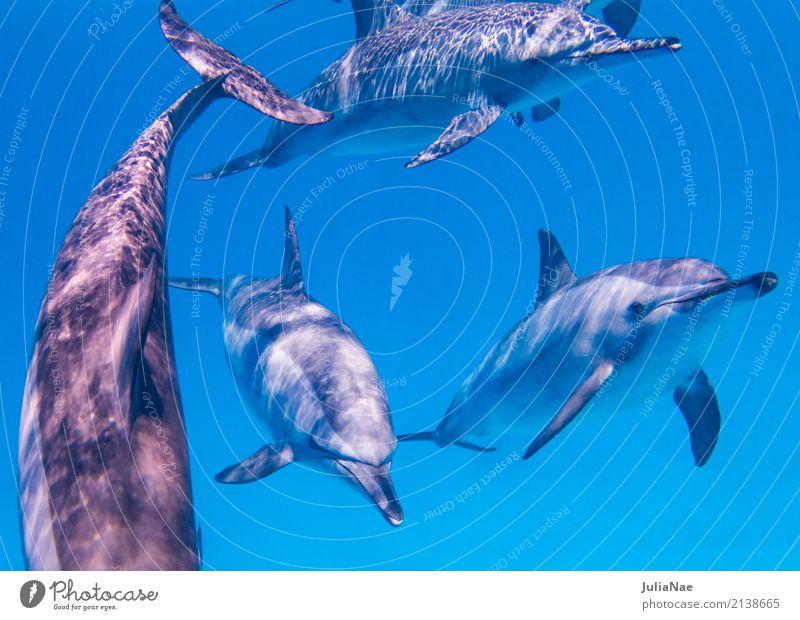 Spinnerdelfine schwimmen auf mich zu Meer tauchen Tier Wasser Riff Korallenriff Tiergruppe Schwimmen & Baden Delphine ostpazifischer delfin Rotes Meer Ägypten