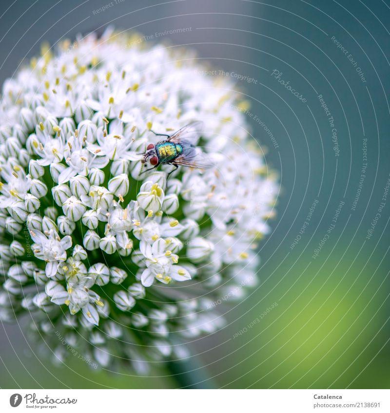 Festplatte | Festtafel für Schmeißfliegen Natur Pflanze Tier Sommer Blüte Nutzpflanze Porree Lauchblüte Garten Fliege 1 Blühend Duft Fressen blau gelb grün