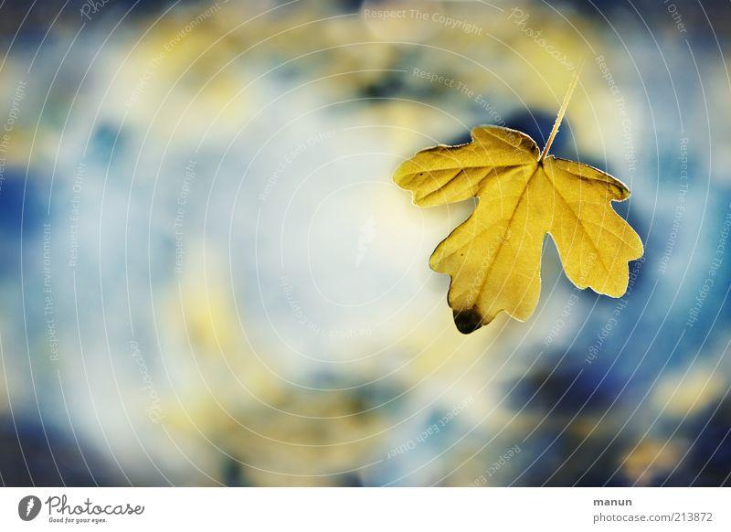 das Allerletzte Natur Wasser Himmel Herbst Blatt Ahornblatt Herbstlaub herbstlich Herbstfärbung leuchten außergewöhnlich fantastisch frisch schön blau gelb Ende