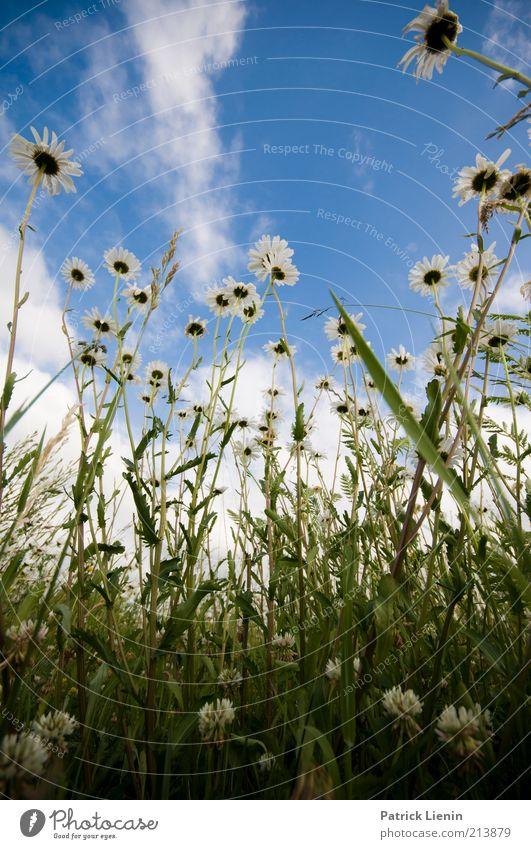 So war der Sommer [300] Natur schön Himmel Blume blau Pflanze Wolken Wiese Gras träumen Landschaft Luft Stimmung Feld Wetter
