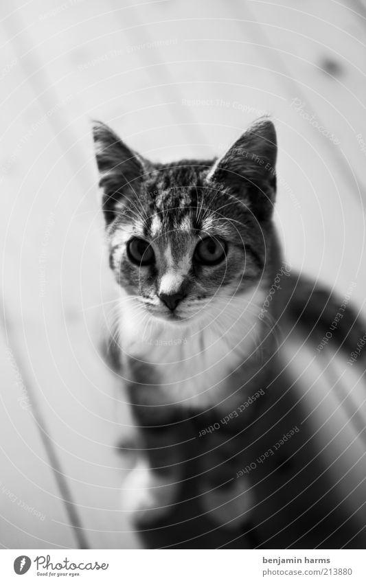...friss mich nicht Tier Haustier Katze 1 Tierjunges hocken Blick sitzen kuschlig klein niedlich Schwarzweißfoto Innenaufnahme Starke Tiefenschärfe Holzfußboden