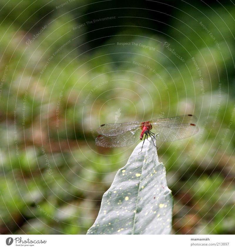 Auf der Abschussrampe Tier Flügel Libelle Libellenflügel frei klein rot Blatt Sträucher Luftverkehr Schweben filigran Insekt Farbfoto Natur Textfreiraum oben