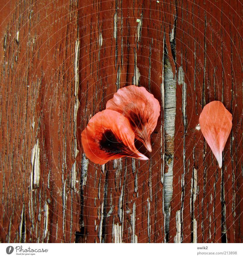 Blattrot Pflanze Blüte elegant Vergänglichkeit verlieren Wandel & Veränderung Pelargonie verblüht Holz Holzplatte Material alt abblättern morbid Farbstoff