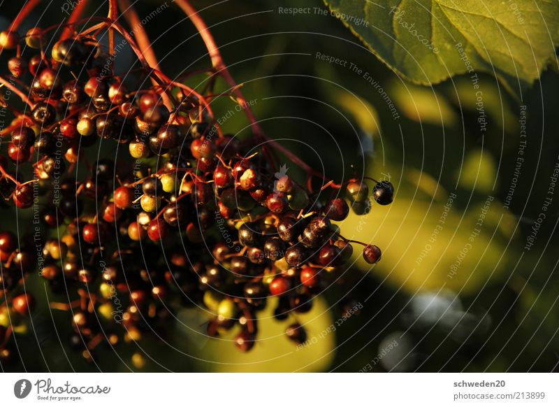 hollunder Natur grün Pflanze rot schwarz Ernährung Herbst Stimmung Gesundheit Lebensmittel Umwelt Frucht ästhetisch süß Sträucher gut