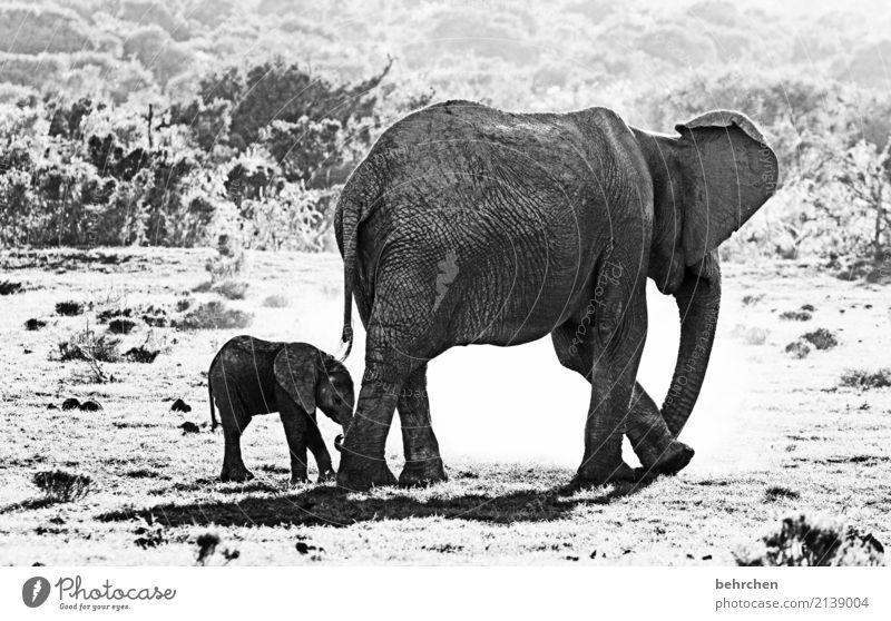 beschützenswert Ferien & Urlaub & Reisen Tourismus Ausflug Abenteuer Ferne Freiheit Safari Wildtier Elefant 2 Tier Tierjunges Tierfamilie außergewöhnlich