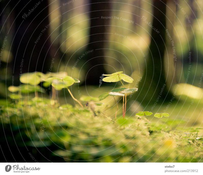 über den Klee Pflanze Schönes Wetter Grünpflanze grün Natur Kleeblatt Waldboden Lichteinfall zart Farbfoto Makroaufnahme Menschenleer Sonnenlicht