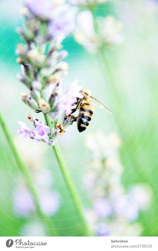 sommerfarben Natur Pflanze Tier Sommer Schönes Wetter Blume Blatt Blüte Lavendel Garten Park Wiese Wildtier Biene Flügel 1 Blühend Duft fliegen Fressen schön
