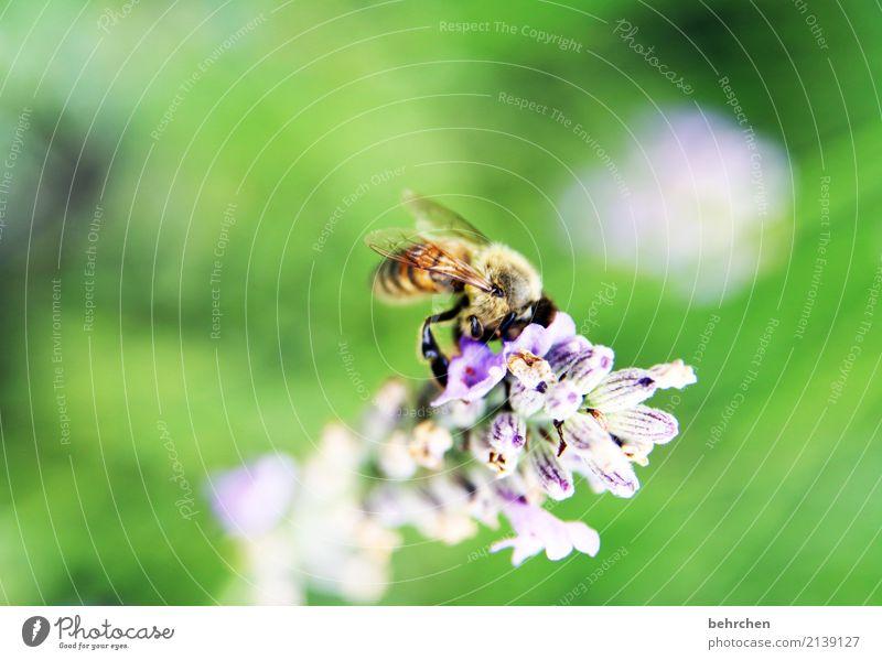 bald KAPUTT | wenn wir nicht aufpassen Natur Pflanze Tier Sommer Blume Blüte Lavendel Garten Park Wiese Wildtier Biene Flügel 1 Blühend Duft fliegen Fressen