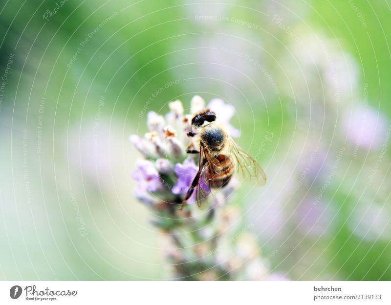 den sommer festhalten Natur Pflanze Tier Sommer Schönes Wetter Blume Blatt Blüte Lavendel Garten Park Wiese Wildtier Biene Tiergesicht Flügel 1 Blühend Duft