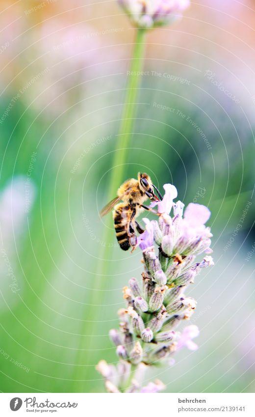 lavendelsommer Natur Pflanze Tier Sommer Schönes Wetter Blume Blatt Blüte Lavendel Garten Park Wiese Wildtier Biene Tiergesicht Flügel 1 Blühend Duft fliegen