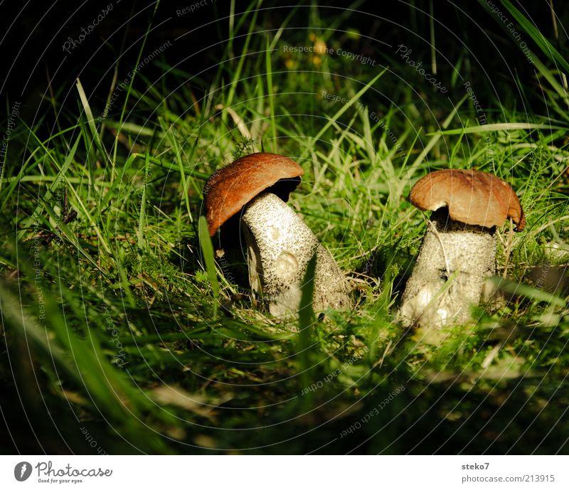 im Rampenlicht Natur Sonnenlicht Herbst Pilz Waldboden Grasbüschel finden Suche braun grün Lichtschein Farbfoto Menschenleer Textfreiraum oben