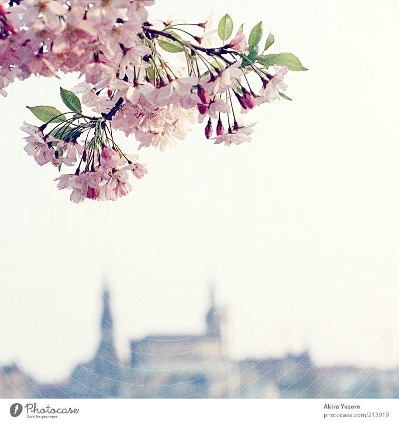Der letzte Gruß Natur Pflanze Himmel Wolkenloser Himmel Frühling Schönes Wetter Baum Blatt Blüte Kirschbaum Kirschblüten Dresden Stadt Hauptstadt Altstadt