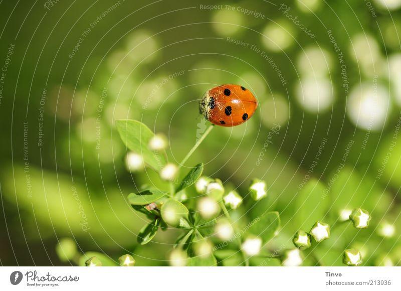 Glückskäfertag weiß grün Pflanze rot Blatt schwarz Tier Blüte glänzend sitzen Blütenknospen Käfer Marienkäfer Optimismus Sympathie