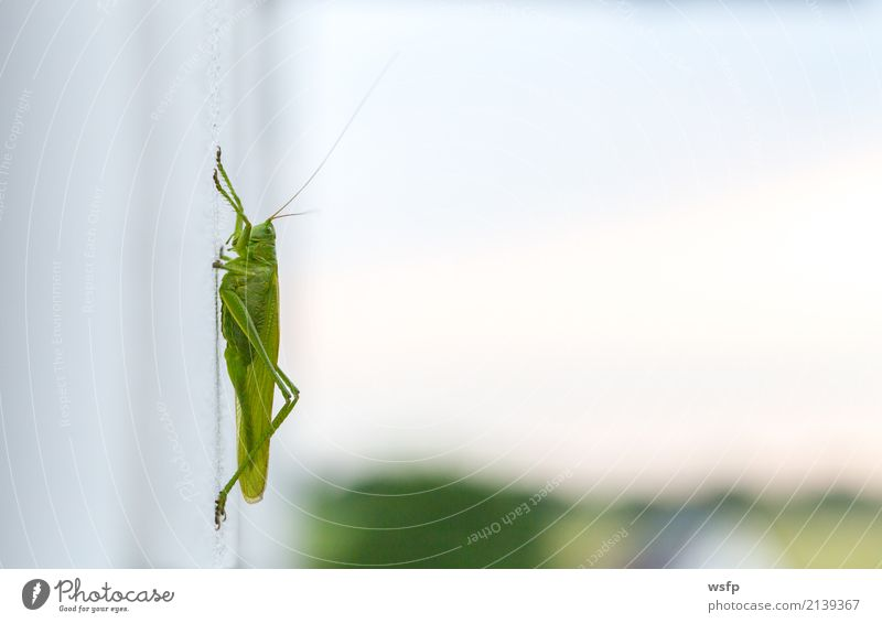 Grashüpfer sitzt auf einer weißen Wand Macro grün Tier Insekt Heuschrecke Plage Heimchen Feldheuschrecken