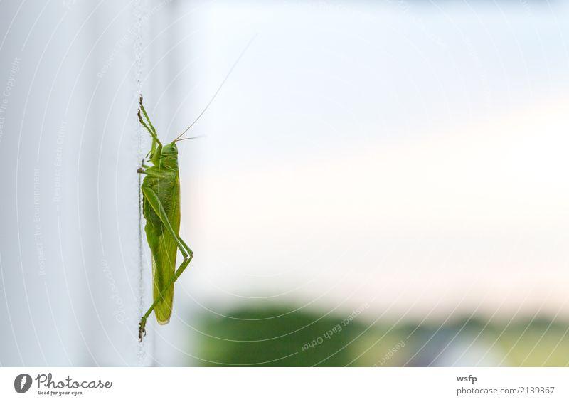 Grashüpfer sitzt auf einer weißen Wand Macro Tier grün Gomphocerinae Heimchen Insekt Heuschrecke Feldheuschrecken Plage Nahaufnahme Makroaufnahme