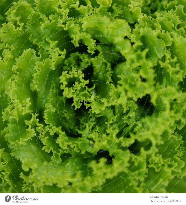 gesund. grün Ernährung Gesundheit Lebensmittel frisch nah einfach Gemüse Bioprodukte Salat Salatblatt