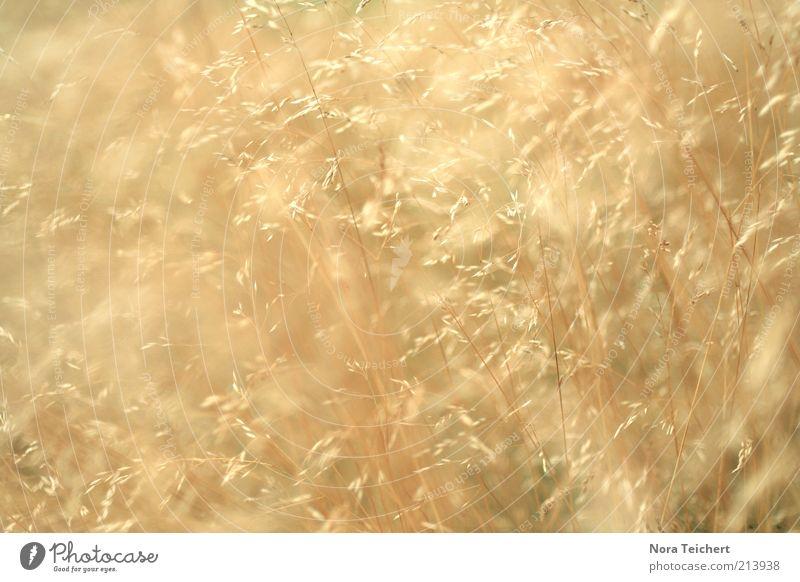 Hello Sunshine Natur schön Pflanze Sommer Gras Bewegung hell glänzend Umwelt gold ästhetisch Wachstum mehrere abstrakt einzigartig wild