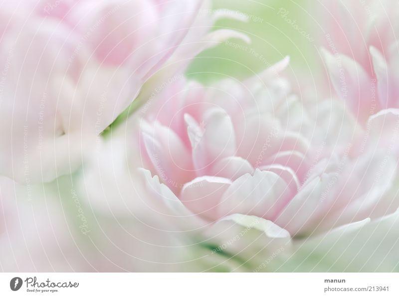Chrissie Natur schön Blume Pflanze Blüte hell rosa elegant frisch ästhetisch weich rein fantastisch zart außergewöhnlich Blühend