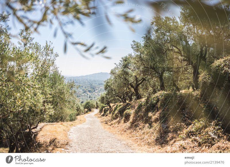 Olivenhain Natur Pflanze Sommer grün Landschaft Baum Wald Wärme Umwelt natürlich Schönes Wetter Olivenbaum Zakinthos