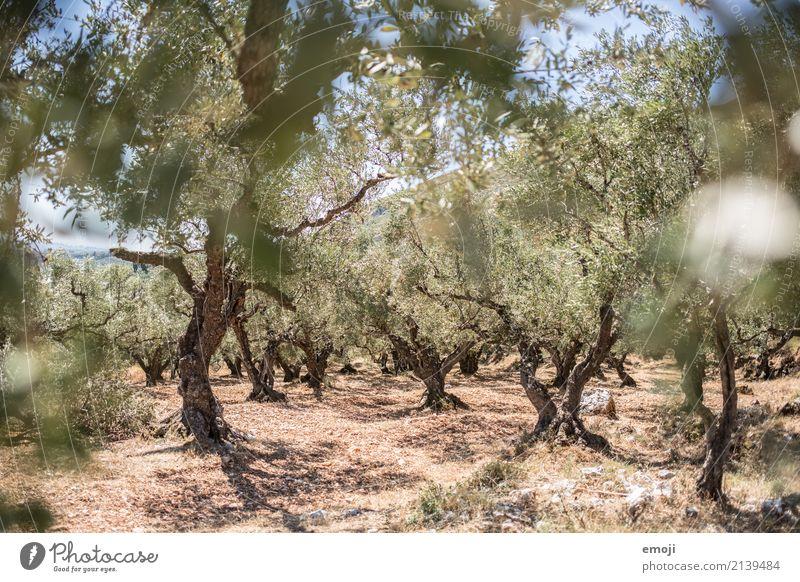 Olivenbäume Umwelt Natur Landschaft Pflanze Sommer Schönes Wetter Wärme Dürre Baum Feld natürlich trocken grün Olivenbaum Griechenland mediterran Farbfoto