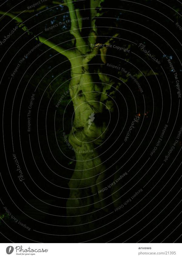 Gespensterbaum Baum