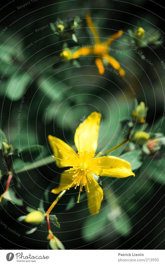 colors Umwelt Natur Pflanze Sommer Blume Blüte Grünpflanze Wildpflanze atmen Duft Erholung glänzend genießen Blick exotisch hell natürlich gelb grün Farbfoto