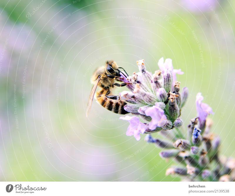 zielgerichtet Natur Pflanze Tier Sommer Schönes Wetter Blume Blüte Lavendel Garten Park Wiese Wildtier Biene Tiergesicht Flügel 1 Blühend Duft fliegen Fressen