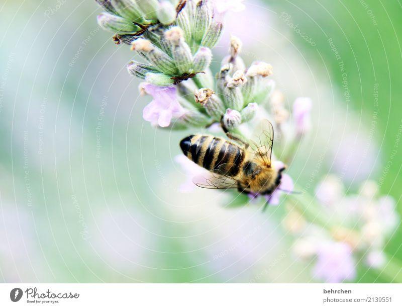 fleißig sein... Natur Pflanze Tier Sommer Schönes Wetter Blume Blatt Blüte Lavendel Garten Park Wiese Wildtier Biene Flügel 1 Blühend Duft fliegen Fressen schön