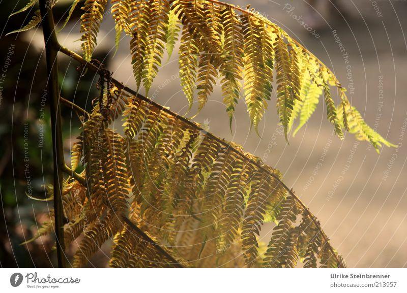 Baumfarn grün Pflanze Blatt Sträucher Ast Stengel hängen Samen Zweig Farn hängend gefiedert Farnblatt Baumfarn