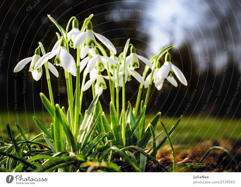 Schneeglöckchen Frühling Frühblüher Blume Pflanze weiß leuchten galanthus nivalis Wiese gruppe klein blühen snow drops Garten grün