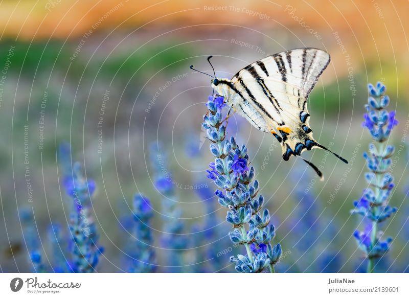 Schwalbenschwanz an einer Lavendelblüte Blüte Schmetterling groß gelb weiß machaon segelfalter Insekt lavendelblüte beige Farbfoto mehrfarbig Außenaufnahme