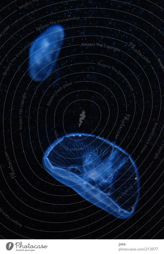 galaktisch tauchen Natur Tier Meer Aquarium Qualle elegant ruhig träumen Energie Gelassenheit Sinnesorgane Zukunft Schwerelosigkeit Wasser Schweben