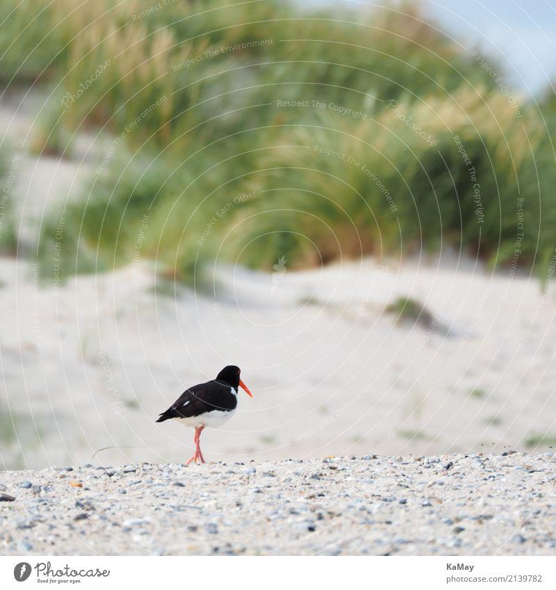 Allein am Strand Sommer Landschaft Tier Sand Insel Helgoland Düne Wildtier Vogel Austernfischer Watvögel Alken rennen Bewegung gehen laufen grün rot schwarz