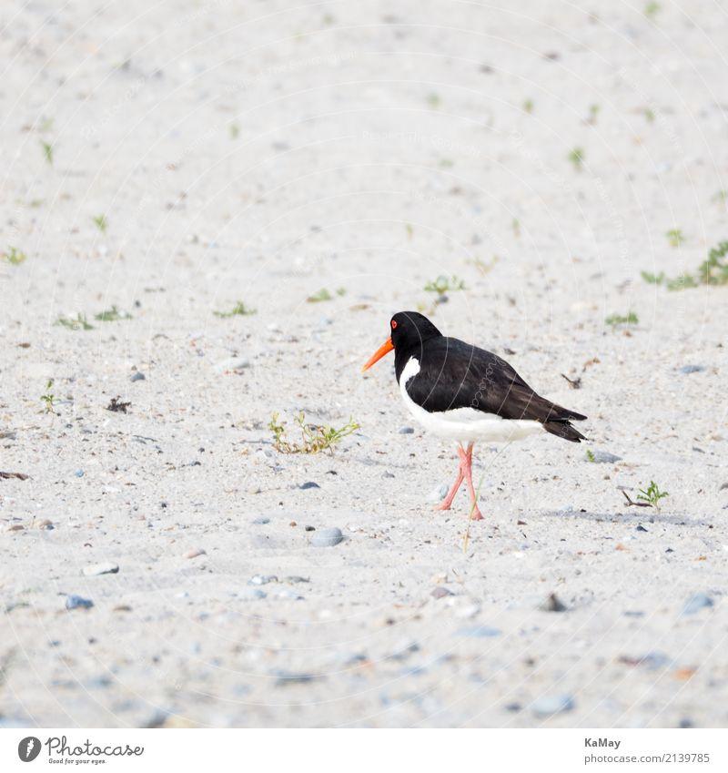 und tschüß Sommer Strand Tier Wildtier Vogel Austernfischer 1 rennen Bewegung gehen laufen rot schwarz weiß Einsamkeit Umwelt Helgoland Nordsee Nordseeinsel