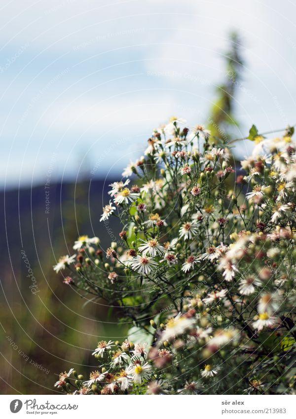 Strauchblüten Natur Pflanze Himmel Blume Sträucher Blüte Wildpflanze Wachstum Farbfoto Außenaufnahme Nahaufnahme Menschenleer Textfreiraum links