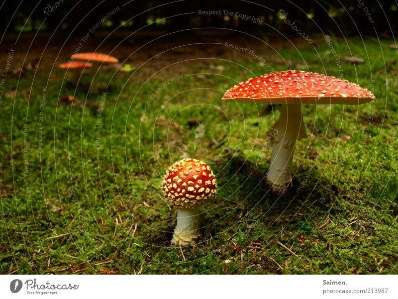 PROJEKT: waldverschönerung Natur Wald Umwelt Gras natürlich Stimmung Erde Risiko Moos Pilz gepunktet Waldboden Pilzhut Märchenwald Fliegenpilz Komplementärfarbe