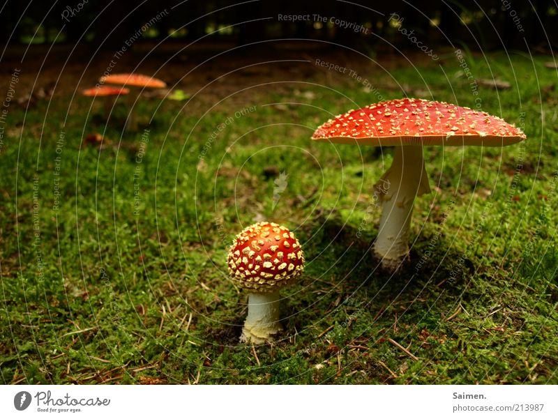 PROJEKT: waldverschönerung Umwelt Natur Erde Wald natürlich Risiko Stimmung Moos Pilz Fliegenpilz Komplementärfarbe Märchenwald Farbfoto Außenaufnahme