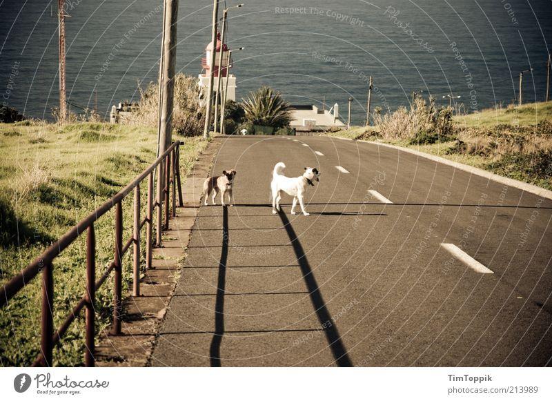 Die Streuner von Madeira Tier Haustier Hund 2 stehen Meer Mittelmeer Straßenverkehr Sonnenlicht Verkehrswege Einsamkeit ausgesetzt Zaun Sommer Schatten